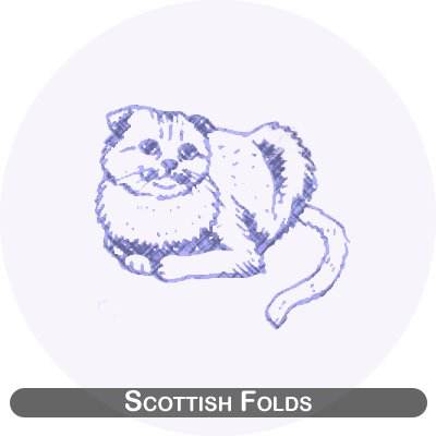 Scottish folds cats